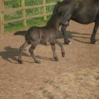 Laura Drake's 2011 foal Alfie