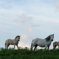 Mares and Foals at Erray Stud in Mull