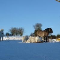 Snowy ponies at Achnacarry Stud